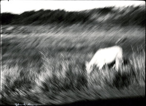 Blurry Cow