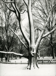 Snow Flocked Tree Boston Common