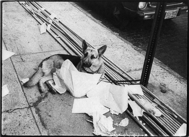 German Shepherd and Newspapers